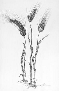 Katherine Nelson, Barley Heads 2018, graphite on paper